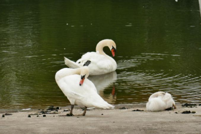 swan parents with child
